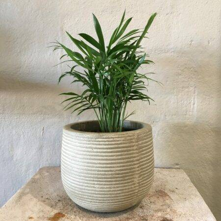 parlour palm in a pot