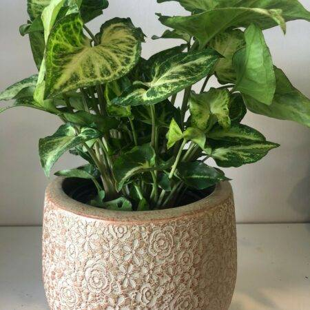 syngonium in a pot