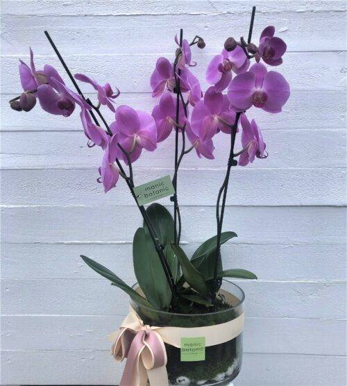 Three Orchids in a vase